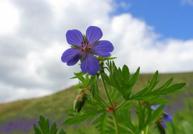 https://kursi-floristiki.ru/wp-content/uploads/3-geranium-pratense-rastyot-na-lugah-lesnyh-opushkah-i-poljanah.jpg