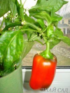 pepper-on-the-windowsill