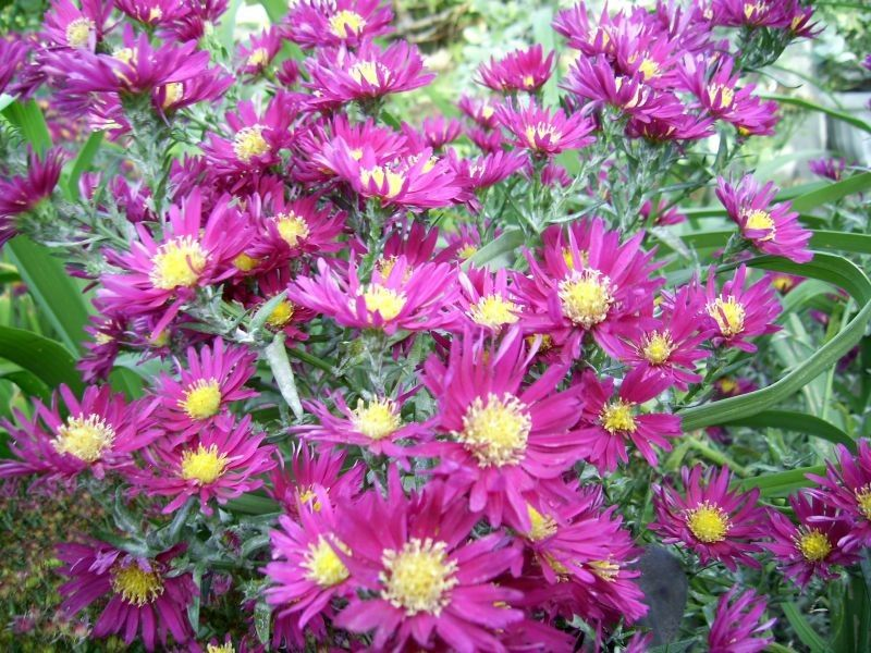 Астра цветы выращивание из семян 1