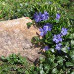 барвинок малый атропурпуреа