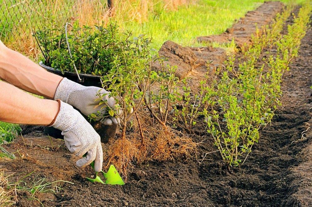 Разведение плодовых деревьев черенками. Прошёл ли способ