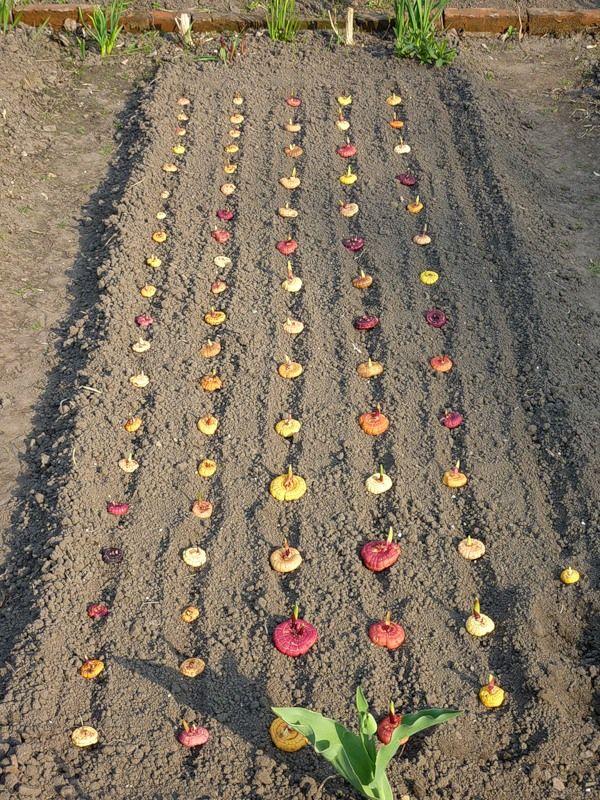 Можно ли гладиолусы сажать семенами 67