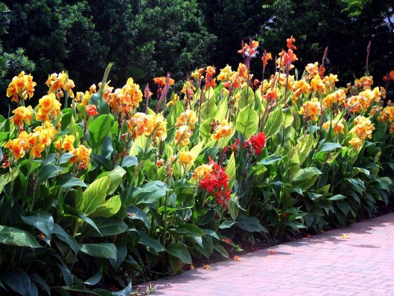 Фото садовых цветов канн
