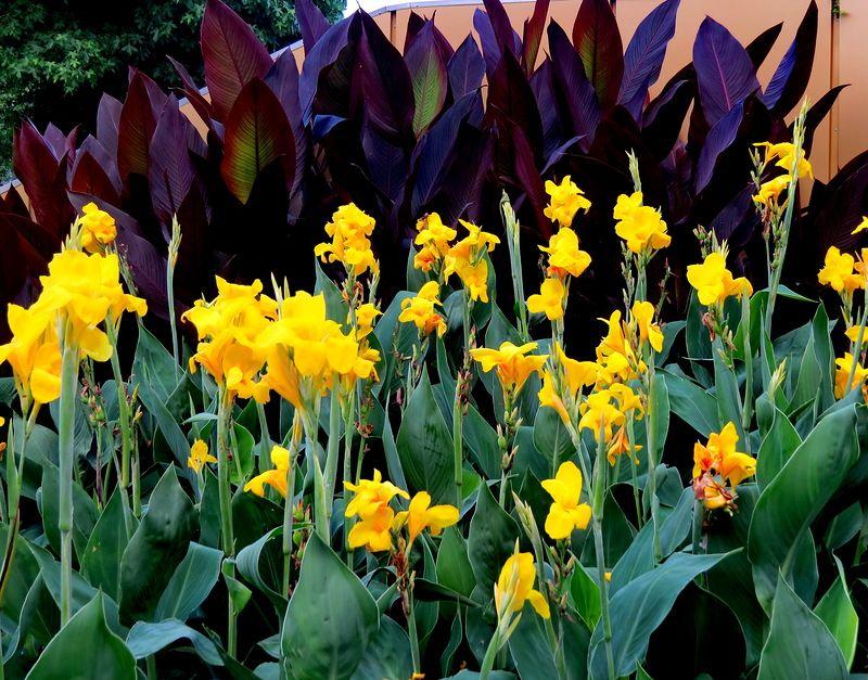 Канны: уход, выращивание, хранение советы начинающим цветоводам