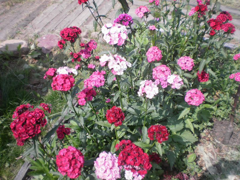 Гвоздика двулетняя выращивание из семян 35