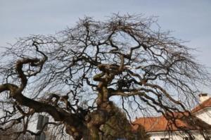 Болезни вязов – голландская болезнь