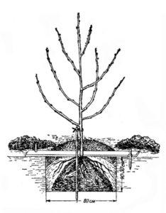 Посадка чубушника