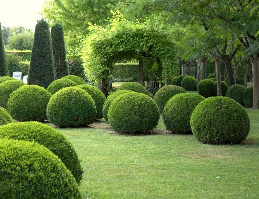 Род вечнозеленых деревьев и кустарников для изгороди