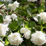 Выращивание чубушника горностаевая мантия