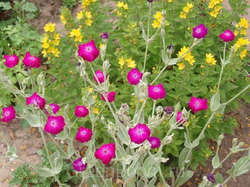 Цветок дербенник многолетний