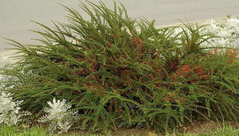 Условия для благополучного выращивания кустарника