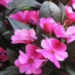 Особенности выращивания бальзамина или «Ваньки» мокрого цветка