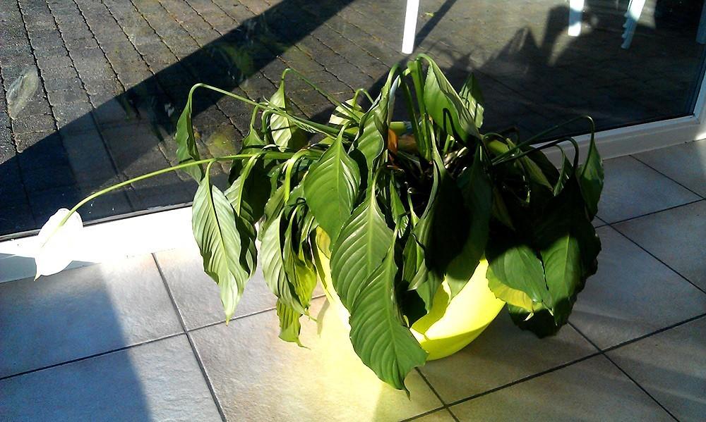 Причины высыхания листьев