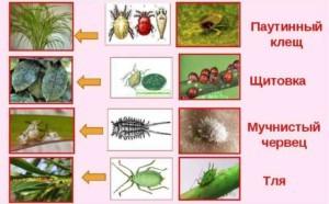 Тля и щитовка Источник: http://znaysad.ru/?p=7601&preview=true