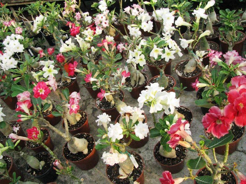 Адениумцветок выращивание 76