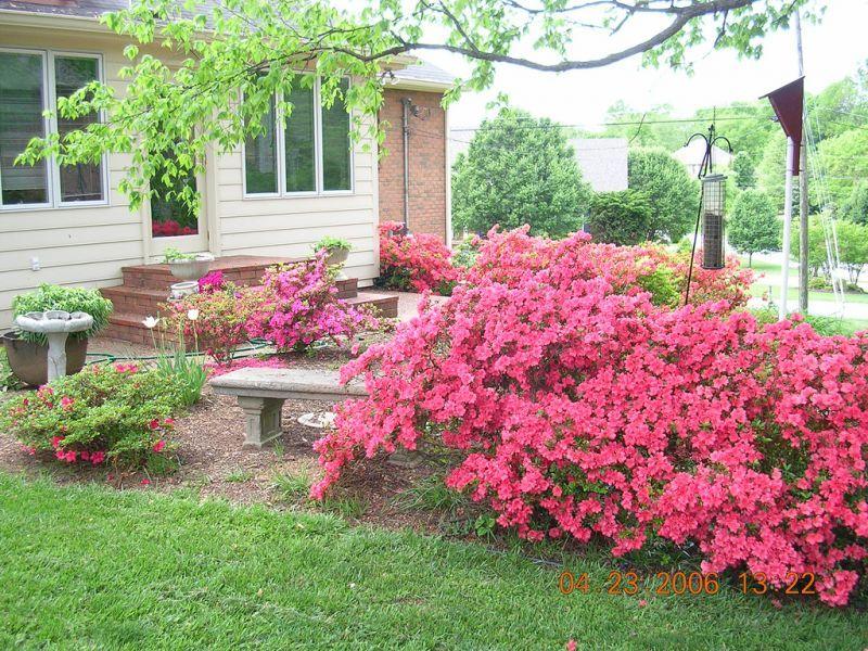 Азалия многолетняя садовая выращивание и уход фото 46