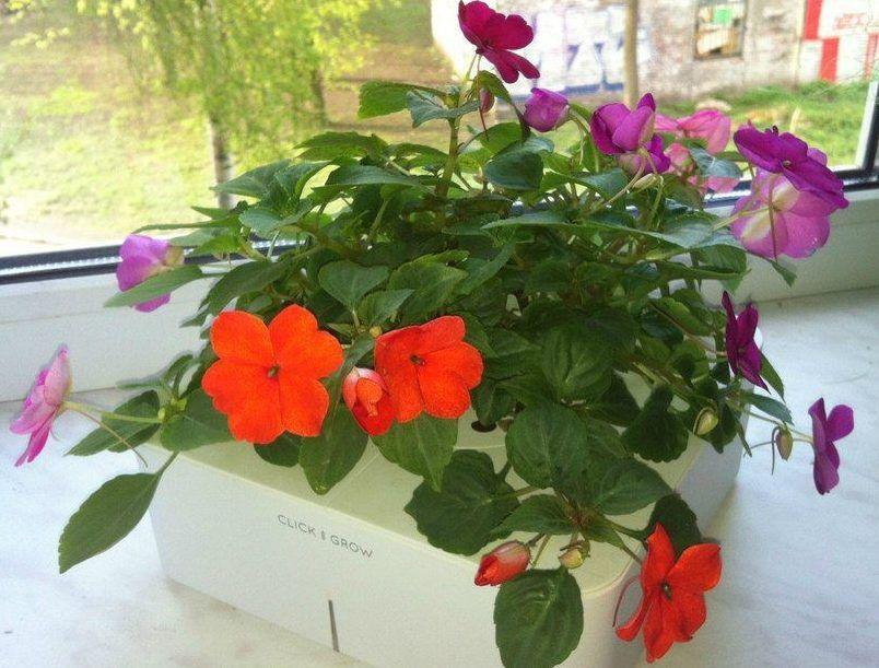 Цветок бальзамин и уход за ним