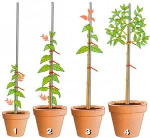 Правила обрезки растения