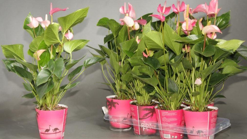 Условия пышного цветения