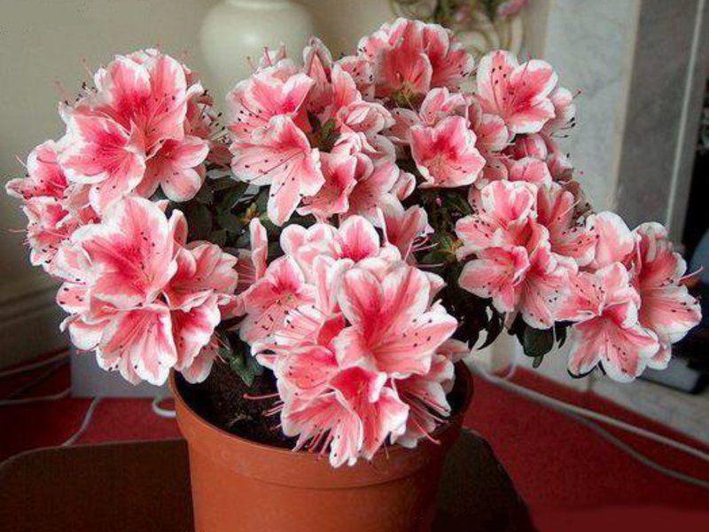 Рододендрон цветок уход в домашних условиях
