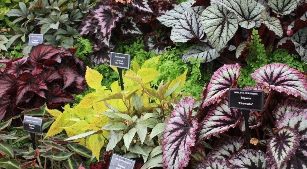 Разновидности декоративнолиственных растений