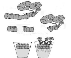 Бегония размножается черенкованием