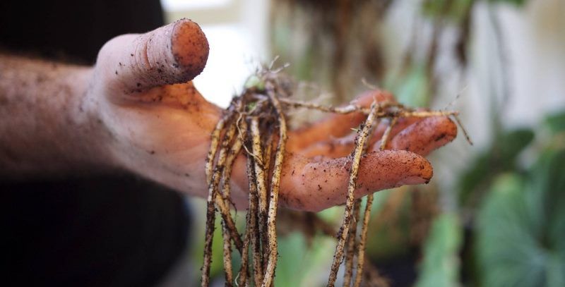 Размножение корневищем