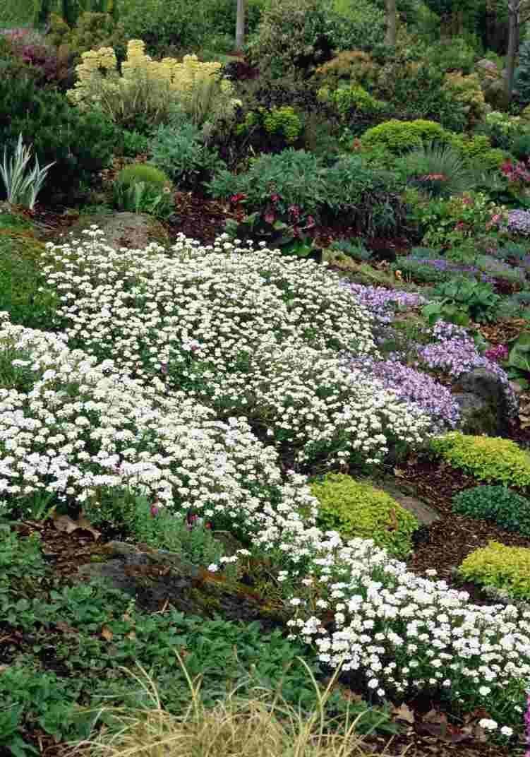 Выращивание иберис зонтичный 47