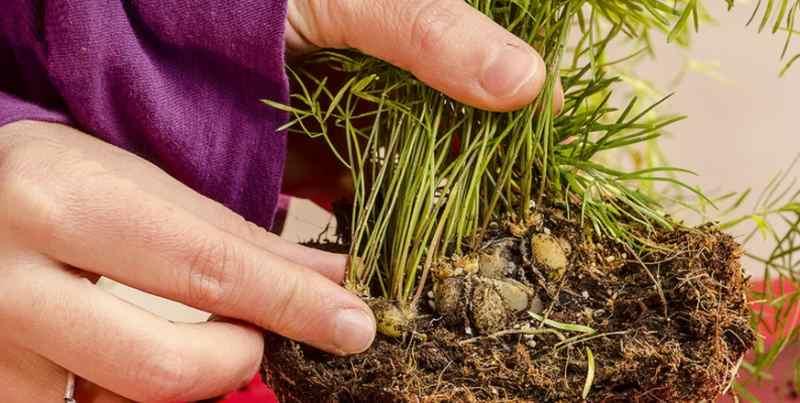 Правила пересадка растения Источник: http://znaysad.ru/?p=8917&preview=true