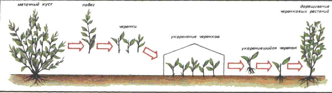 Размножение дерена черенками