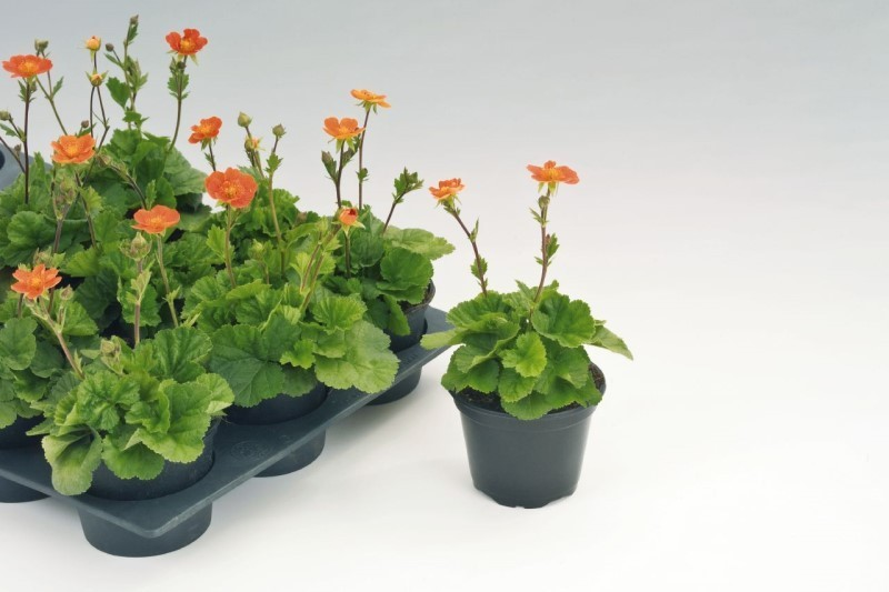 Описание растения гравилат