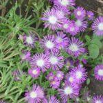 Цветок делосперма