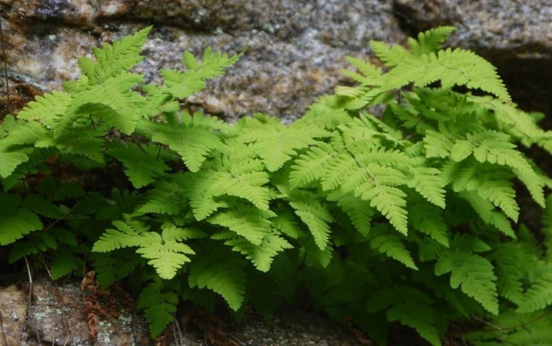 Голокучник трехраздельный ботаническое описание