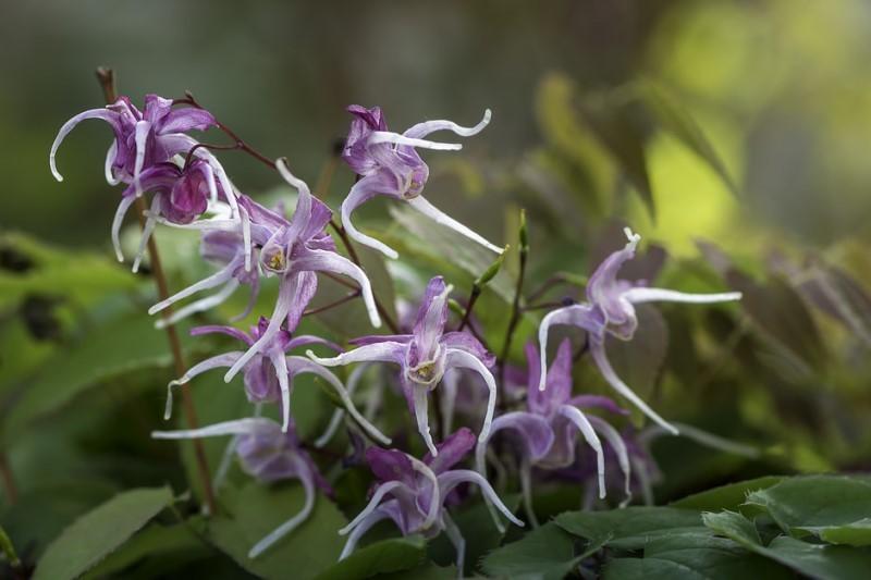 Размножение горянки крупноцветковой