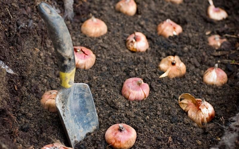 Высадка гладиолусов в открытый грунт