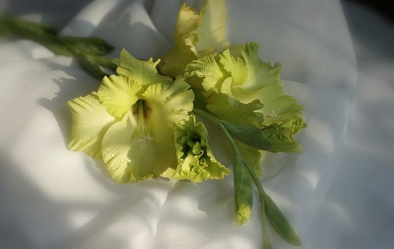 Зеленые сорта гладиолусов