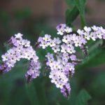 Гелиотроп цветок