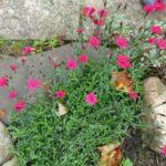 Гвоздика травянка