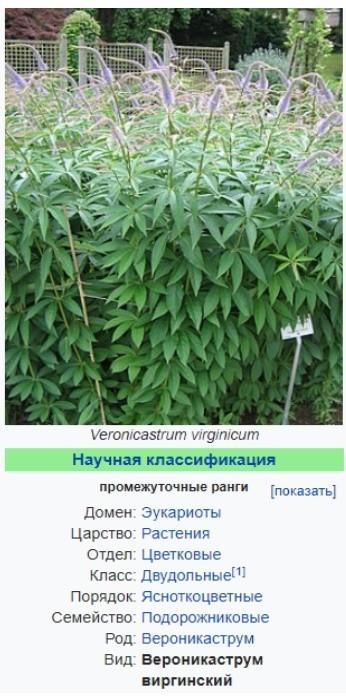 Вероникаструм виргинский