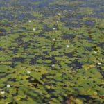 Водокрас лягушачий: интересные факты