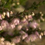 Когда цветет вереск