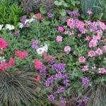 Почему не цветет вербена