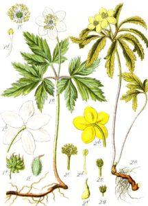 Анемоны – нежные краски в саду