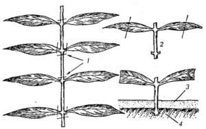 Размножение астильбы методом черенкования