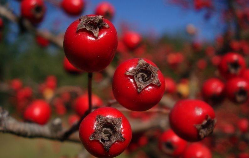 Как вырастить боярышник из семян в домашних условиях