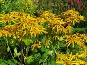 Бузульник – неприхотливые цветы в саду