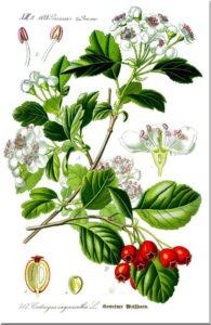 листья боярышника обладают целебными свойствами