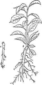 Все способы размножения боярышника черенками