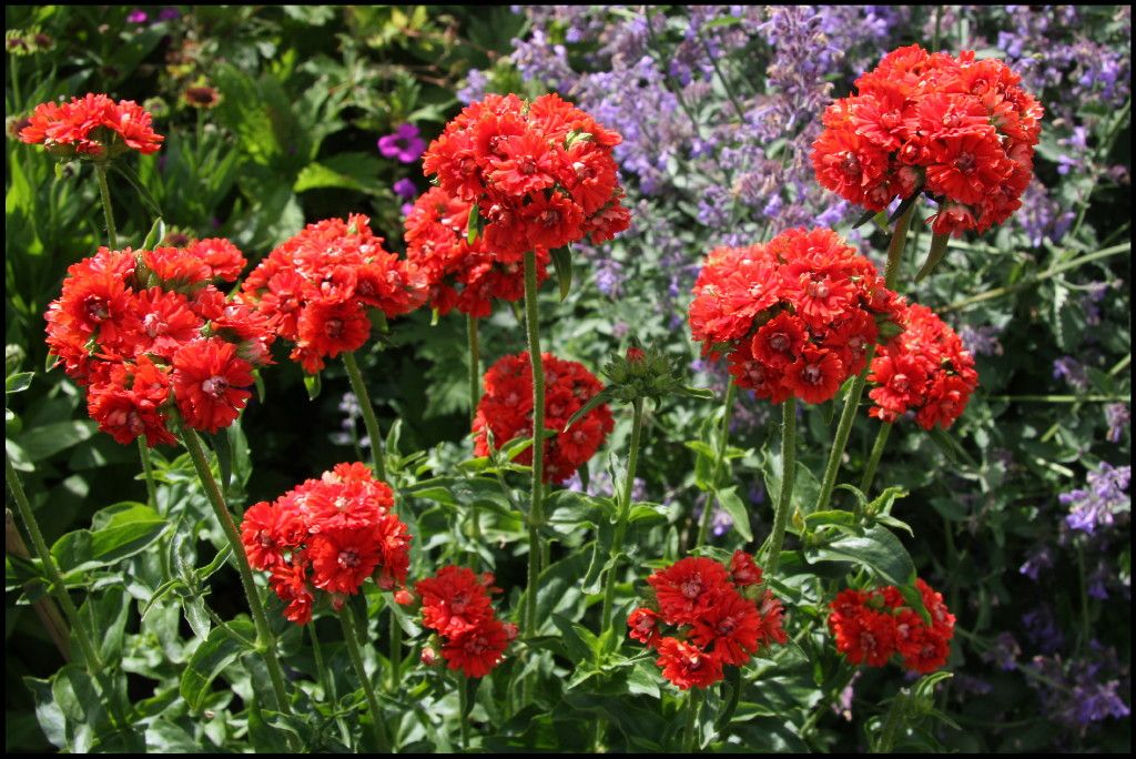 Лихнис халцедонский 27 фото посадка и уход за зорькой обыкновенной применение цветка в ландшафтном дизайне выращивание из семян
