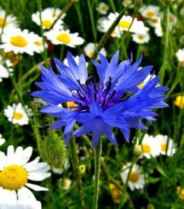 Василек – неприхотливый цветок для сада